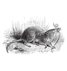 Common shrew vintage vector