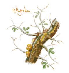 commiphora myrrha tree with resin watercolor vector image
