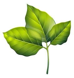 Three green leaves vector