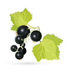 Blackcurrant with leaves isolated on white vector image
