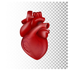 realistic 3d human heart with venous system vector image