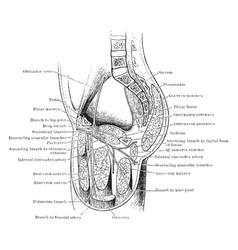 Course of obturator nerve vintage vector