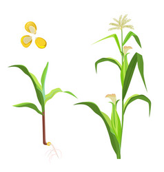 Sweet corn flowering plant and seeds vector