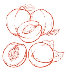 Drawing Sweet apricots vector image