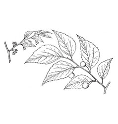 branch of common hackberry vintage vector image
