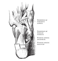 Muscles in the sole of the foot vintage vector