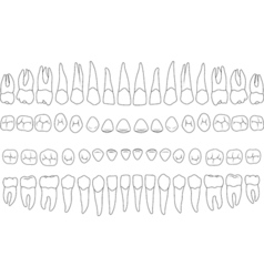 anatomically correct teeth vector image