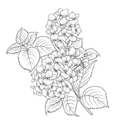Mop head of hydrangea flower isolated over white vector