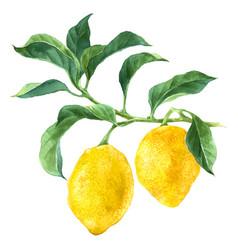 watercolor lemon tree branch vector image
