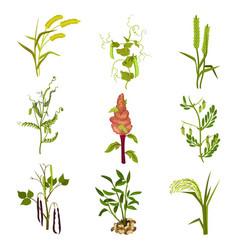 Flat set of cereals and legumes plants vector