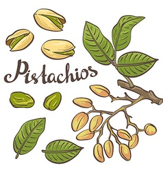 Pistachio nuts with leaves and pistachio tree vector image