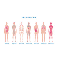 male body system infographic set or banner flat vector image