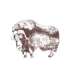 Muskox hand drawn with contour lines on white vector