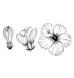 contour hibiscus floral set vector image