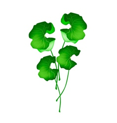 Fresh Asiatic Pennywort Plant on White Background vector