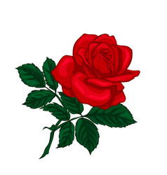 Red rose isolated on a white background vector