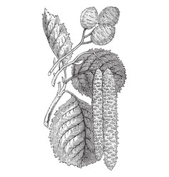 alnus glutinosa catkins and fruit vintage vector image