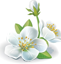 cherry flower vector image