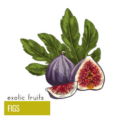 Figs fruits with leaves vector