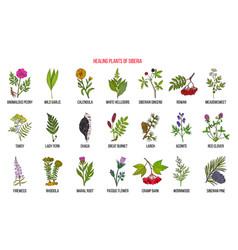 Medicinal herbs siberia vector