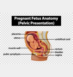 Pregnant fetus anatomy pelvic presentation vector