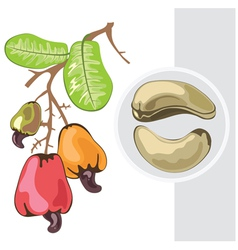 cashew branch with fruits and leaves vector image