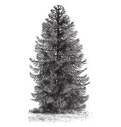 Araucaria imbricata tree vintage vector