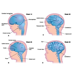 Brain development in the human fetus vector image
