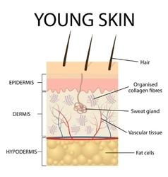 Visual representation of young skin vector image vector image