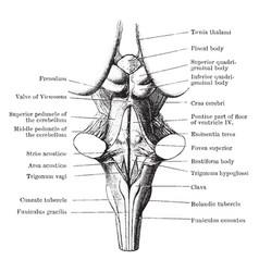 Back view of medulla pons and mesencephalon vector