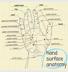 Hand Surface Anatomy vector image