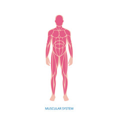 human muscular system anatomy infographic element vector image