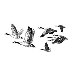 Flock of flying wild geese hand drawn sketch vector