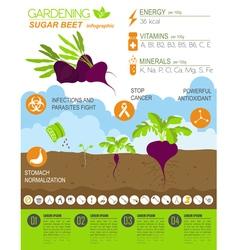 Gardening work farming infographic Sugar beet vector