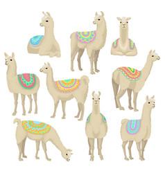 graceful white llama set alpaca animal in vector image