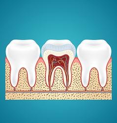 Three healthy human tooth vector