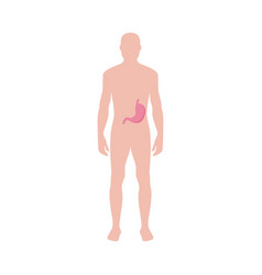 male body with anatomical icon stomach flat vector image