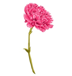 Pink carnation with the effect of a watercolor vector
