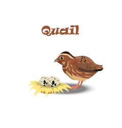 quail with nest end eggs vector image