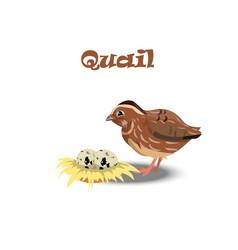 Quail with nest end eggs vector