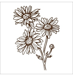 Camomile flower isolated on white vector image vector image