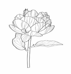 Sketch floral botany peony flower with leaves vector