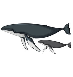 humpback whale on white background vector image