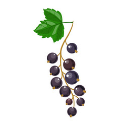 Branch of black currant vector