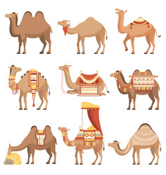 camels set desert animals with bridles and vector image