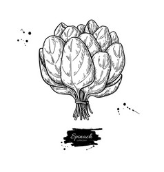 Spinach leaves bunch hand drawn drawing vector