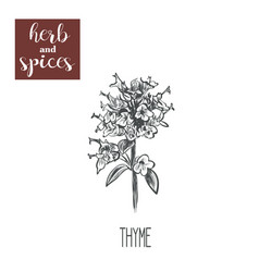 thyme sketch hand drawing thyme vector image