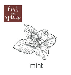 Mint sketch hand drawing vector
