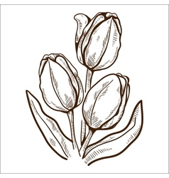 Tulip flower isolated on white vector image vector image