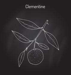 clementine citrus clementina citrus fruit vector image
